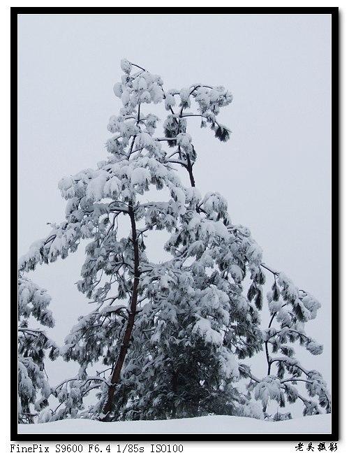 大雪压青松 青松挺且直